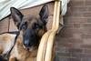02-52: puppydogeyes (matt_in_a_field) Tags: fuji xt20 fujinon dog canine look expression alsation german sheperd ears pet animal