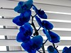 The Orchid Is Mother Nature's Masterpiece (Mad Cow Imagery) Tags: 7dwf canonef50mmf18stm orchids bloom plants plant canoneos80d indoors blue orchid essex elsenham england gb greatbritain uk unitedkingdom