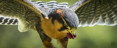 The Treat for a Aplomado Falcon (lycheng99) Tags: treat meat bird westcoastfalconry marysville wings feather color food pet domesticated bokeh orange aplomadofalcon aplomado falcon