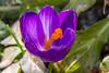 Krokusse (Stefan's Gartenbahn) Tags: krokus krokusse christrose blume blumen blüte blüten garten frühling frühlingsboten biene bienen tamron macro 18400mm f3563 di ii vc hld makro