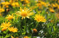 Printemps (hans pohl) Tags: portugal setubal azeitao fleurs flowers plantes plants nature