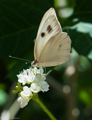 The flowers of Uxmal. (Vladimir Zhdanov) Tags: travel mexico yucatan uxmal butterfly flower macro insects