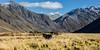 Caass Valley (Rami Khanna-Prade) Tags: nz newzealand travel touring tekapo 4x4 offroad landscapecaptures mountainscape cow grass landscape mountain sky animal backcountry southernalps nzmustdo