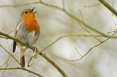 robin (brazier305) Tags: robinkeywordsanimal avian beak beautiful beauty bird breast british christmas closeup cute feather festive friendly garden habitat male natural nature outdoors perched portrait red redbreast robin season song songbird songster spring springtime sweet traditional tweet wild wildlife winter erithacusrubecula passerine insectivorous detail orange colour european autumn biodiversity culture folklore wings tail plump mythology echocountry2018 stourvalleynaturereserve dorset riverstour april2018