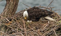 ND5_1556 Not Yet Mom (Wayne Duke 76) Tags: bird mother nest eagle eggs raptor