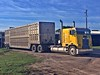 4-10-2018 Cabover (THE RANGE PRODUCTIONS) Tags: cabover livestock bull hauler cattle cows freightliner truck trailer tractortrailer bigrig ols school old semi 18wheeler texas ranch