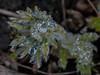 (Melamar2012) Tags: blüte wassertropfen küchenschelle blumen