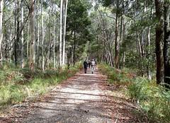 Bushwalking, Wombat State Forest (Diepflingerbahn) Tags: bushwalkers dominotrail wombatstateforest centralhighlands trentham lyonville railtrail carlsruhetodaylesfordrailway