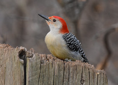 Red-Bellied Woodpecker (talon263) Tags: red bellied woodpecker bird nature wildlife canada spring