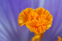 Yellow Sculpture - _TNY_4207 (Calle Söderberg) Tags: macro canon canon5dmkii canoneos5dmarkii canonmpe65mmf2815x mpe65 stigma krokus crocus pollen orange yellow blue purple flower iridaceae flash meike mk300 glassdiffusor f13 5d2