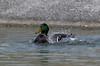 Anas platyrhynchos (Mallard) male splashing 3 (Puddin Tain) Tags: anasplatyrhynchos mallard pond splashing virginiabeach