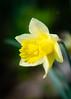 Narzisse (YaYapas) Tags: osterglocke rx10 narzissenwanderung flowers wanderung narcissus narzissen hiking hohnbachtal gelbenarzisse blumen kelmis wallonie belgien be