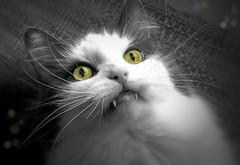 Fully Feline (LupaImages) Tags: feline cat face fangs teeth eyes green fur animal pet family indoors whiskers fierce closeup