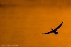Golden Flight (Khurram Khan...) Tags: doublecrestedcormorant sunrise fog mist wildlife wild wildlifephotography wwwkhurramkhanphotocom birds khurramkhan nikon nikkor seaandshorebirds
