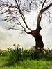 Hambleton Hall gardens (Dun.can) Tags: hambletonhall rutland tree sunlight spring daffodil