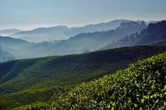 Cameron Highlands - Boh Tea Plantation 18 (luco*) Tags: malaisie malaysia cameron highlands boh tea plantation thé montagne hills collines arbres brume brouillard mist matin morning landscape paysage
