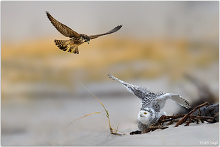 Snowy Owl Being Harassed By Peregrine Falcon