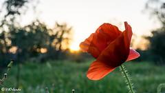 Poppy (Vitorlandophotographs) Tags: nature naturephotography naturelovers wild wildnature love lovenature flower flowers poppy red garden meadow sun sky