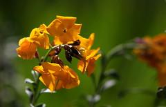 Ritorno (lincerosso) Tags: fioriture primavera giardino spring garden stagione andamentometeoclimatico violaciocca colorearanciore bellezza armonia ritorno coth5