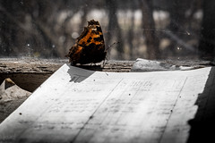 Butterfly, Chernobyl Exclusion Zone, Ukraine (KSAG Photography) Tags: butterfly insect travel tourism disaster chernobyl chornobyl ukraine europe nature nikon spring april 2018 history life decay urbandecay abandoned ghosttown city