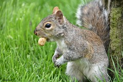 """I`ve got what I want, now I`m off!"" (Eleanor (No multiple invites please)) Tags: squirrel greysquirrel peanut hydepark london nikond7200 april2018 coth5"