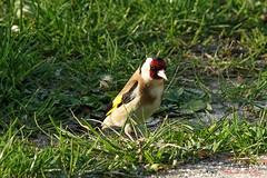 Chardonneret élégant (Carduelis carduelis) 19-04-2018 (1) (Ezzo33) Tags: france gironde nouvelleaquitaine bordeaux ezzo33 nammour ezzat sony rx10m3 parc jardin oiseau oiseaux bird birds european goldfinch chardonneret élégant carduelis specanimal
