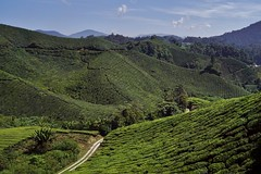 Cameron Highlands - Boh Tea Plantation 1 (luco*) Tags: malaisie malaysia cameron highlands boh tea plantation thé route road chemin