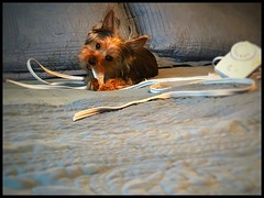 Beau in trouble...again! (Sherrianne100) Tags: mischief missouri trouble puppy yorkie