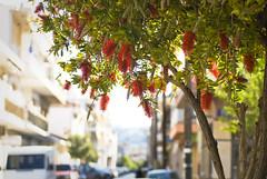 Happening 30 m. from home (jimiliop) Tags: street town neighborhood tree blooming flowers red cars buildings suburban sunlight kiato greece photowalk bokeh hometown everydaylife
