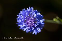 Blue Cornflower (Anna Calvert Photography) Tags: floral flowers garden macro macrophotography mygarden nature naturephotography petals plants cornflowers blueflowers