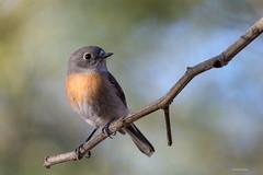 Scarlet Robin : She's so fine (Derek Midgley) Tags: dsc9709 scarlet robin female petroicaboodang np