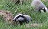 9Q6A9245 (2) (Alinbidford) Tags: alancurtis alinbidford badgercubs brandonmarsh nature wildlife