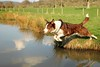 15/52 Spring Clean (meg price) Tags: 52weeksfordogs flynn bordercollie sheepdog dog jump spring