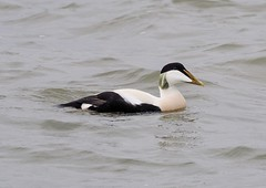 Eider (kc02photos) Tags: eider somateriamollissima landguardpoint suffolk england uk birdphotography