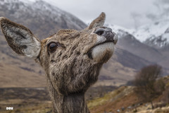 Checking In (davidrhall1234) Tags: reddeercervuselaphus reddeer deer hind animal countryside highlands glens mammal nature nikon wildlife world woodland mountains outdoors portrait scotland