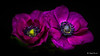 Anemones (Magda Banach) Tags: canon canon80d sigma150mmf28apomacrodghsm anemone blackbackground colors flora flower flowers macro nature plants purple drops
