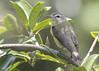 Philadelphia Vireo (Vireo philadelphicus) (Gmo_CR) Tags: vireophiladelphicus philadelphiavireo vireoamarillento costarica coronado patiodeagua
