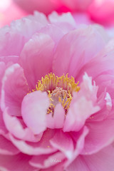 peony (uko2) Tags: canon canoneos7dmark canonef100mmf28macrousm canon7dm2 flower peony macrophotography