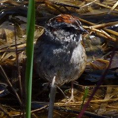 Swamp Sparrow (Dendroica cerulea) Tags: swampsparrow melospizageorgiana melospiza passerellidae passeroidea passerida passeri passeriformes psittacopasserae eufalconimorphae neoaves neognathae aves birds sparrow spring wildlifeobservationcenter greatswamp greatswampnationalwildliferefuge greatswampnwr morriscounty nj newjersey
