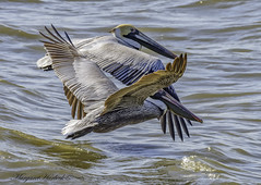 Together Forever (Margaret Harbeck) Tags: pelican photography wildlife fish