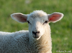 Lamb (manxmaid2000) Tags: lamb wool cute face ears fluffy sheep fleece farm animal rural grass young baby sunlit eyecontact white spring