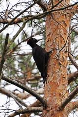 Желна. (tam6524) Tags: picidae bird animal nature nutrition wood forest желна blackwoodpecker dryocopusmartius malebird