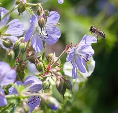Cranesbills (eric robb niven) Tags: ericrobbniven scotland honey bee cranesbills dundee flowers botanical gardens springwatch