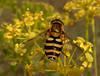 Eupeodes sp.  HFDF!  Explore, thanks! (bego vega) Tags: diptera díptero mosca fly hoverfly insect insecto animal syrphidae sirfido thapsia villosa bego macro madrid vf campirri vega veguita begovega bv fdf hfdf