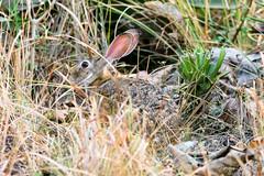 Indian Hare (PB2_2695) (Param-Roving-Photog) Tags: indian hare animal wildlife nature jungle dhaulkhand rajaji nationalpark sanctuary uttarakhand forest wildlifephotographer wildlifesafari india nikond7200 tamron150600