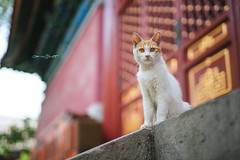 DSC01927+ (๑Kerchak๑) Tags: cat straycat streetcat meow color colour temple fayuansi china beijing cute