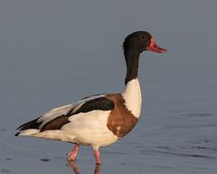Tarro blanco (Antonio Lorenzo Terrés) Tags: pato tarro blanco tadorna laguna naturaleza ave pájaro bird nature fauna