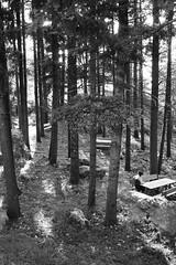 A mystic forest n. 3 (Vincenzo Elviretti) Tags: forest cure foto controluce alberi roiate provincia di roma lazio italia europa unione sottobosco bosco macchia mediterranea pini foresta parco albero legno