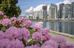 Springtime On False Creek (Clayton Perry Photoworks) Tags: vancouver bc canada spring explorebc explorecanada skyline flowers pink seawall vancouverhouse falsecreek