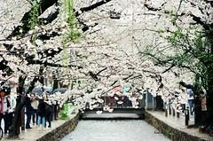 高瀨川 ([M!chael]) Tags: nikon f3hp nikkor 5014 ai kodak ultramax400 film kyoto japan sakura 櫻花 flower